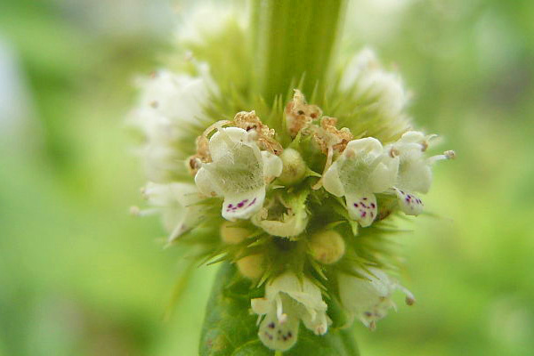 Gypsywort