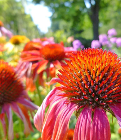 Growing Echinacea Herb for use in Herbal Medicine