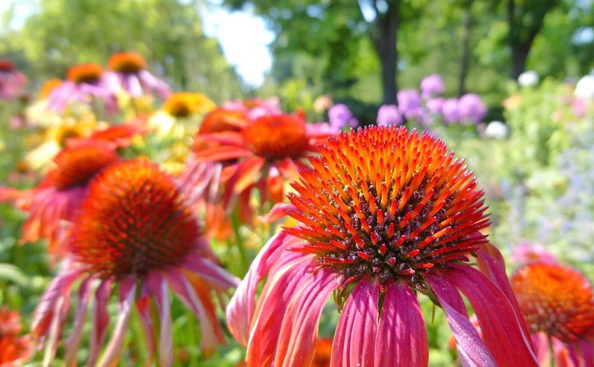 Growing Echinacea Herb for use in Herbal Medicine